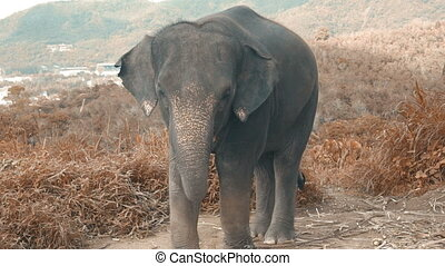 Elephant baby on the hill in Phuket - Beautiful elephant...