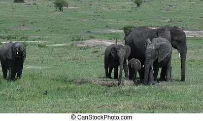 Elephant baby with mother