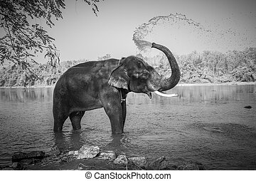 Elephant bathing, Kerala, India - Black and white image of...