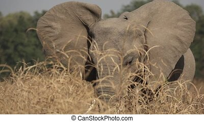 Elephant behind the high bush flapping ears in super slow ...