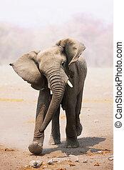 Young Elephant bull mock charging; Loxodonta Africana; Etosha