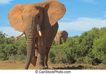 Elephant bull heading directly at the camera