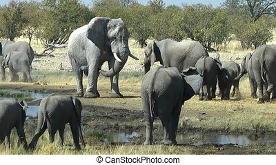 elephant bull watching his herd