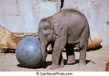 Elephant Calf Playing With A Ball