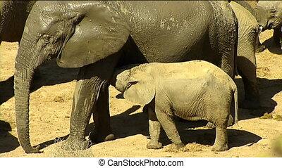 Elephant calf suckles - African elephant (Loxodonta...