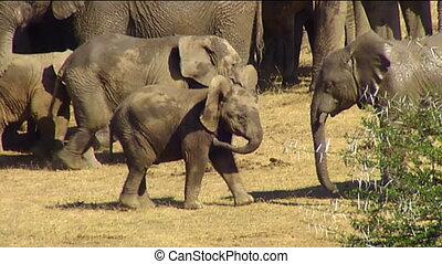 Elephant calves mock fight - African elephant (Loxodonta...