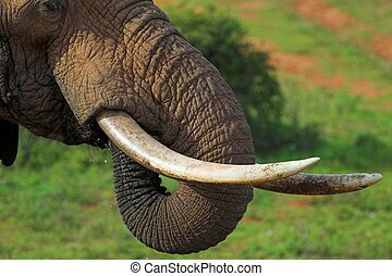 Close up of an African Elephant's tusks and trunk, while its drinking
