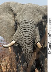 Elephant close up - Huge African Elephant bull feeding on...