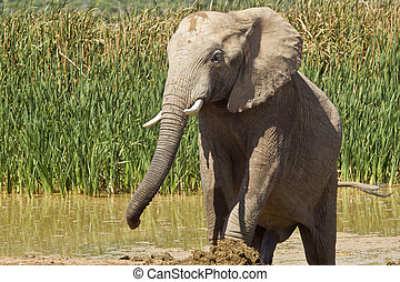 Elephant cooling off - large male elephant walking out of a...