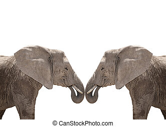 Elephant couple isolated on white