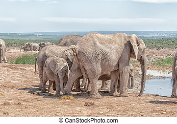 Elephant cow pooing while a calf eats the dung