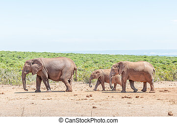 Elephant cow with two calves