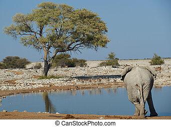 Elephant Cross Legged - Large male african elephant...