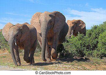 Elephant crossing - Elephants crossing the road in Africa