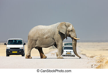 Elephant crossing road - Elephant crossing the road and...