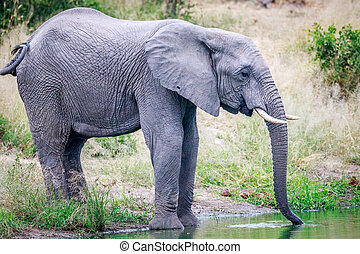 Elephant drinking at a water dam.