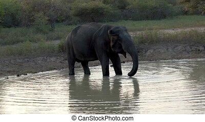 Elephant Drinks From Lake in Sri Lanka.