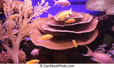 Elephant ear coral (Mycedium elephantotus). Underwater...