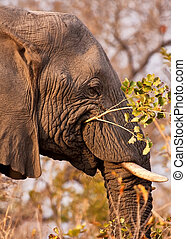 Elephant eating a branch with leaves
