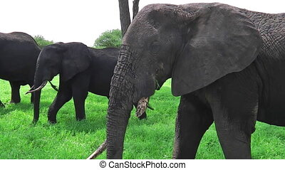 elephant eating and scratching