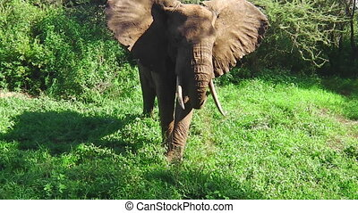 elephant eating grass - African elephant moving its ears...