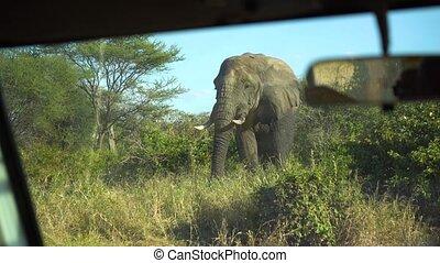 Elephant Eating Grass in Savannah of Tanzania National Park. African Safari