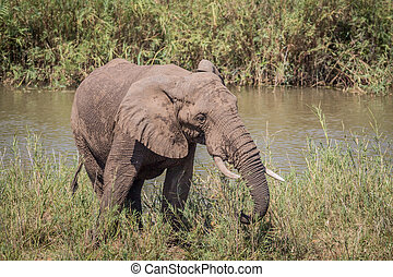 Elephant eating grass next to a river.