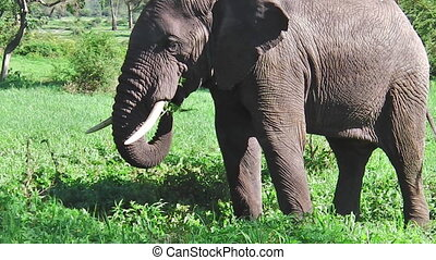 elephant eating grass side view - side view of African...