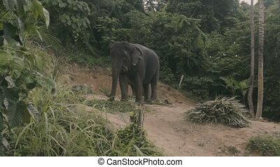 Elephant eating palm leaves
