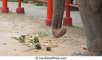 Elephant eats food from the ground. The elephant touches the...