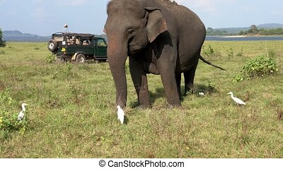 Elephant Eats Grass With Egrets As Jeeps Pass Behind - Three Quarter View.