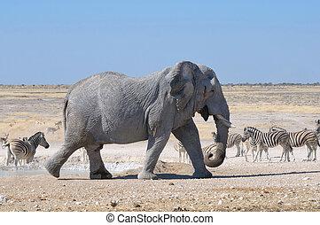 Elephant, Etosha National park, Namibia - Elephant walking ...