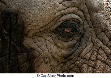 Elephant eye. A unique look into the eye the African elephant. A close up of a elephants eye, eyelashes, wrinkles and face.
