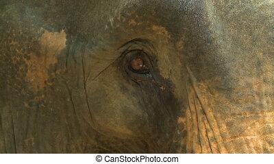 Elephant Eye and Eyelid - Handheld, close up shot of an ...