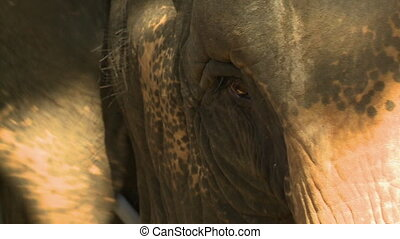 Elephant Eye and Head - Handheld, close up shot of an ...