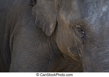 Elephant eye close up detail