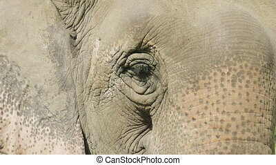 Elephant face in the national park Chitwan, Nepal. -...