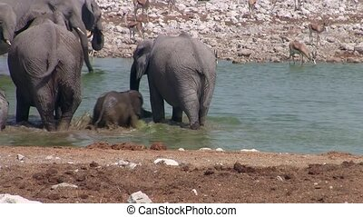 Elephant Family Bathing at Okaukuejo, Etosha NP