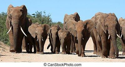 Elephant Family Herd - Family herd of African elephants on...