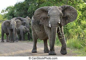 Elephant Family in Hluhluwe-Umfolozi Game Reserve, South...