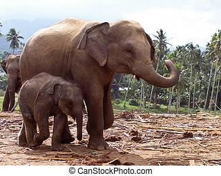 elephant family in open area - elephant family stays...