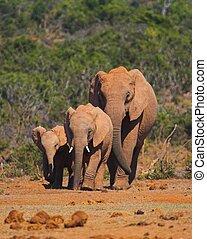 Elephant Family walking along