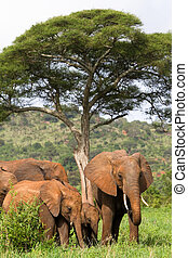 Elephant family - A herd of African elephants feeding under...