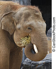 Indian elephant feeding at Pairi Daiza (Belgium)