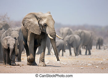 Elephant bull leading a large herd; African elephants; Loxodonta Africana