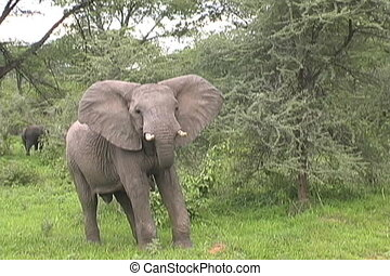 Elephant flopping ears