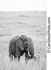 Elephant grazing on the open savannah of the Masai Mara