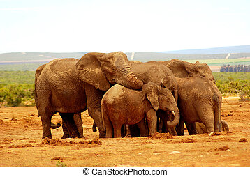 A big herd of wild African elephants standing together for a group hug and mourning at sunset in a game park in South Africa