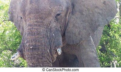 Elephant Head Close-Up in Etosha NP, Namibia