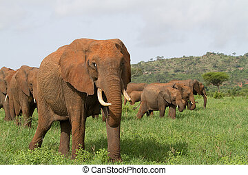 Elephant herd - A relaxed herd of african elephants walking...